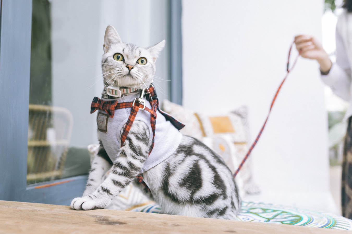 Cat With Bowtie Collar And Harness