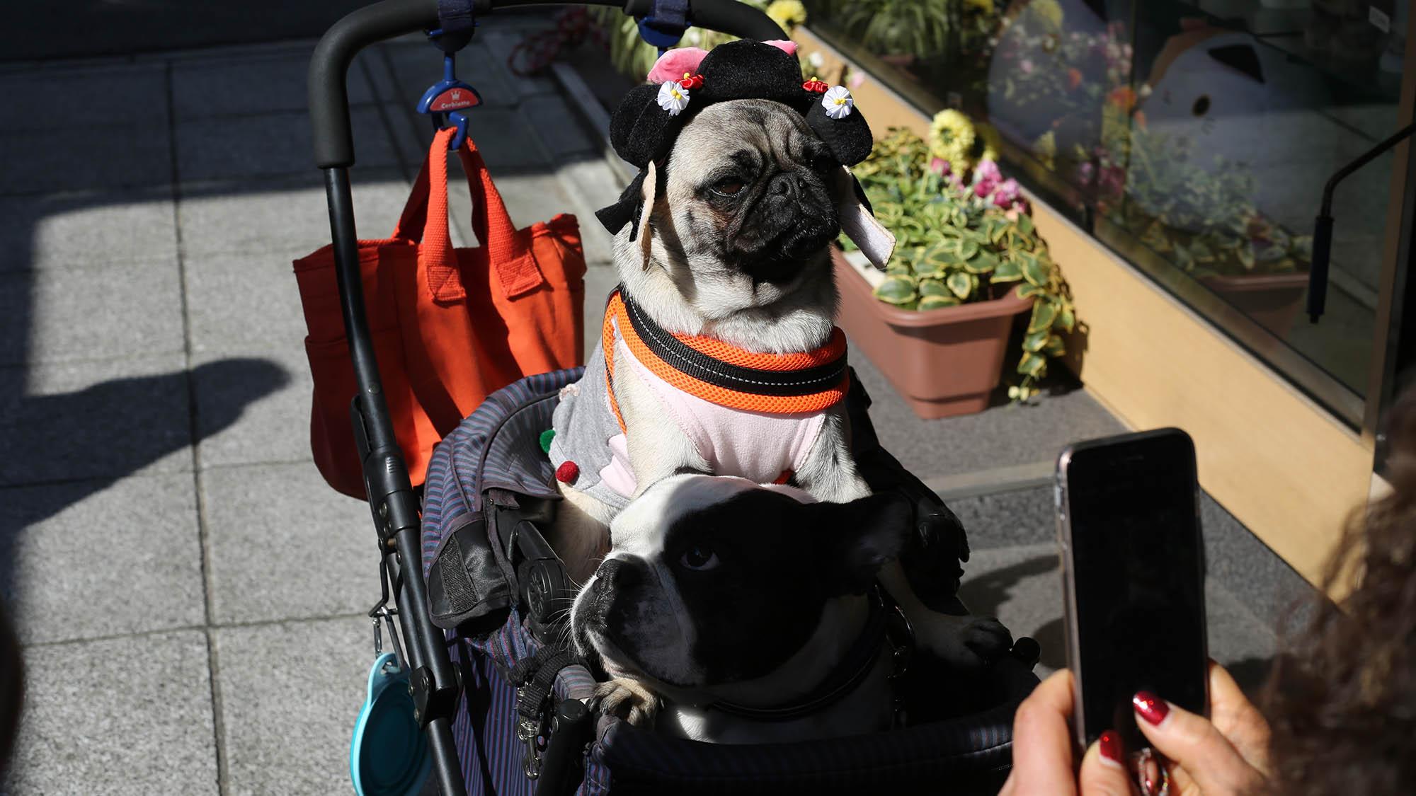 Pug in Costume in Stroller