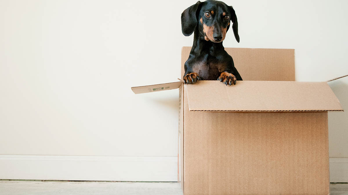 Dachshund Sitting in Cardboard Box