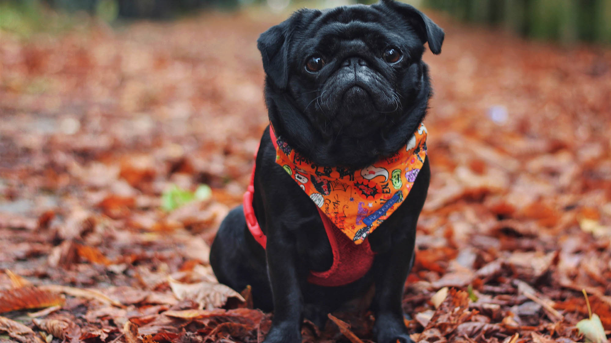 Black Pug Wearing Orange Halloween Scarf