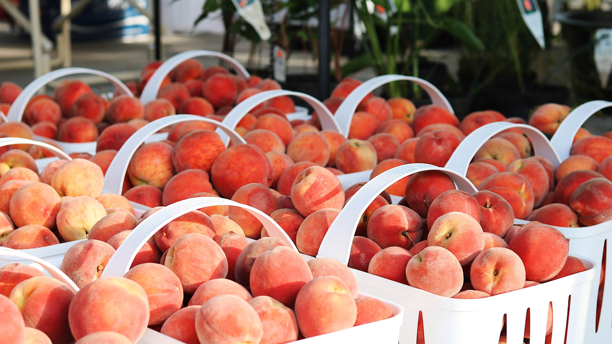 Closeup on white baskets of ripe peaches at outdoor market